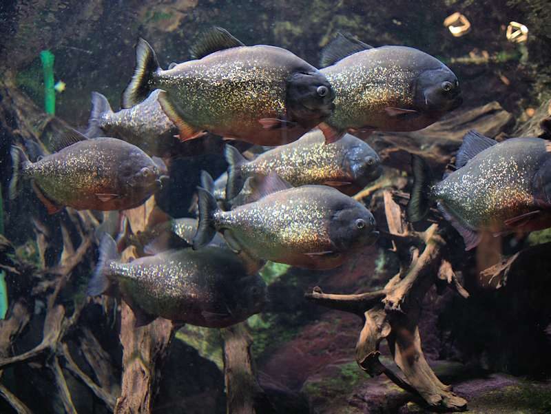 Piranhas Aquarium Tropical